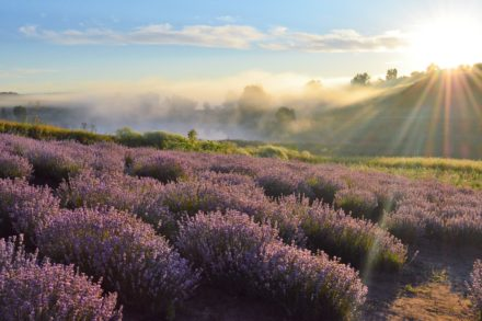 Über Fronleichnam Badeaufenthalt in Istrien mit Lavendelblütenfest