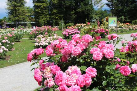 Zur Rosenblüte in's Arboretum Volcji Potok und Laibach